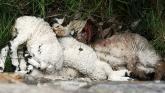 Dead Lambs