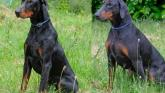 Dobermanns in Donegal looking for home