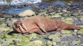 Walrus returns - water users in Donegal are asked to keep an eye out for this rare visitor