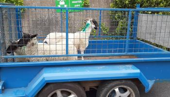 Stranorlar sheep back home after visit to local hotel