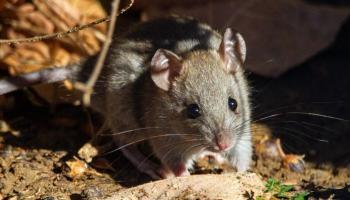 It's a rat trap ...