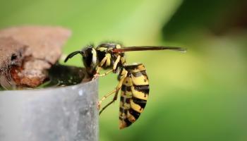 Wasp PIXABAY