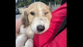 Puppy 'kicked around like a football' rescued by shelter and gardai