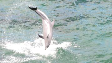 Dolphins put on a show at Muckross