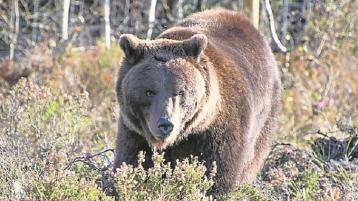 Covid-19 outbreak can't keep the wolves and bears at bay