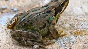 Are there any frogs left in Donegal?