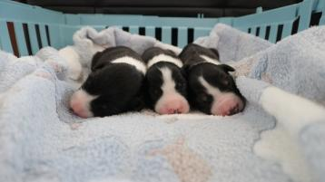 Donegal Puppies fly tipped like pieces of trash and left dangling for dead above a river