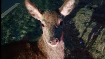 Oh deer! Animal and driver involved in collision on Donegal road had lucky escape