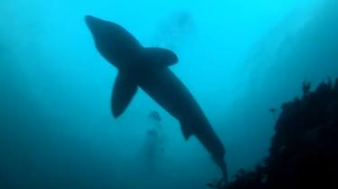 WATCH: Stunning underwater video of basking sharks off Donegal coast