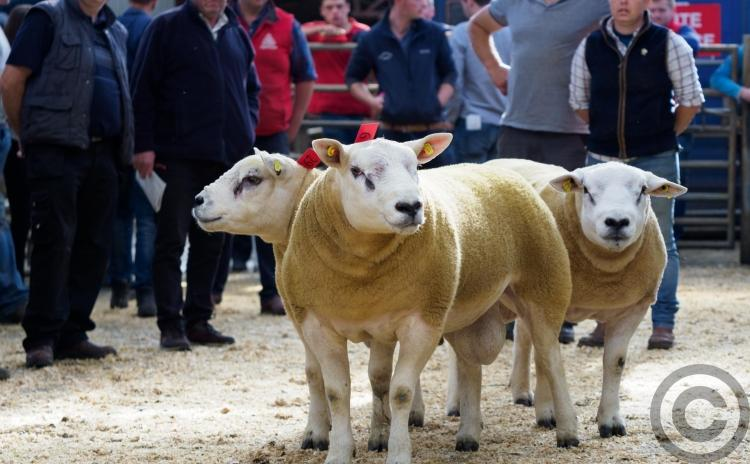 GALLERY: Top  quality livestock at Donegal Texel Sheep Breeders Sale