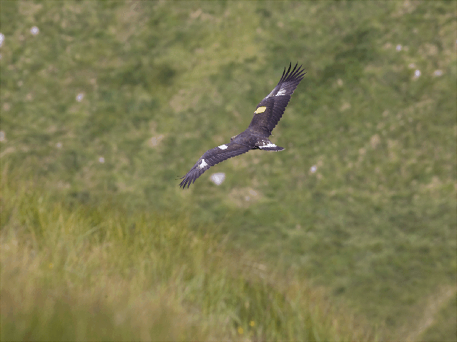 A golden eagle soars above the hills of Donegal